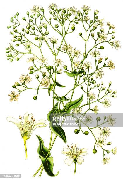 Gypsophila elegans, annual baby's-breath, showy baby's-breath. , digital improved reproduction from a print of the 19th century