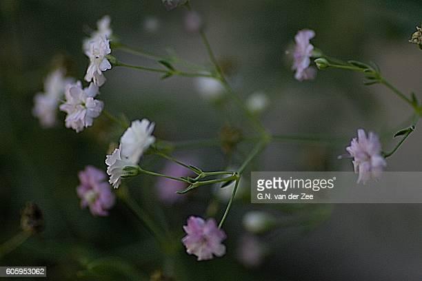 Gypsophylla repens 'Rosenschleier '