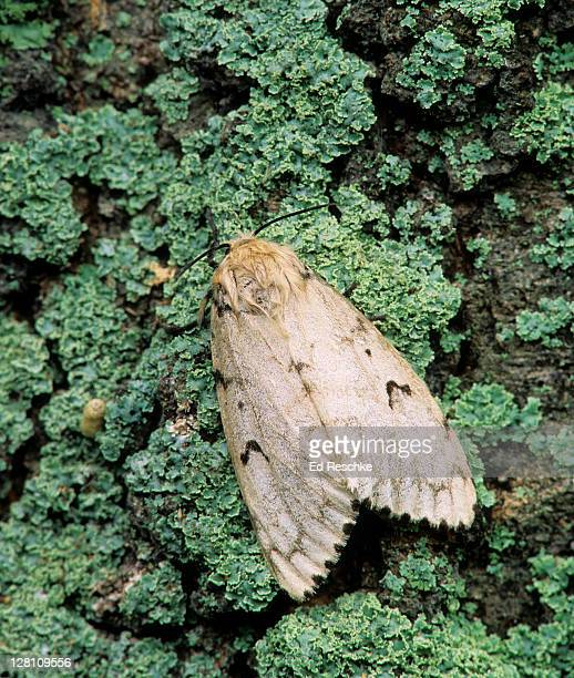 gypsy moth, adult female. lymantria dispar. one female produces masses of about 400 eggs. caterpillars are major pests of forest and shade trees. feeds on many kinds of deciduous and evergreen trees. muskegon, michigan. usa - gypsy moth caterpillar stock pictures, royalty-free photos & images