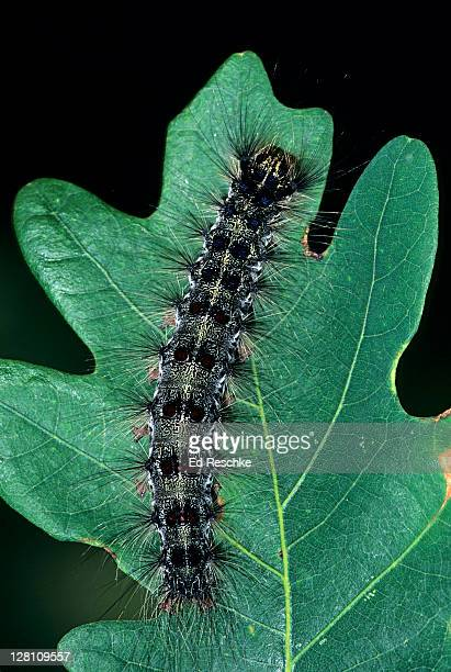 gypsy moth, caterpillar, lymantria dispar. caterpillars are major pests of forest and shade trees, feeds on many kinds of deciduous and evergreen trees. muskegon, michigan. usa - gypsy moth caterpillar stock pictures, royalty-free photos & images