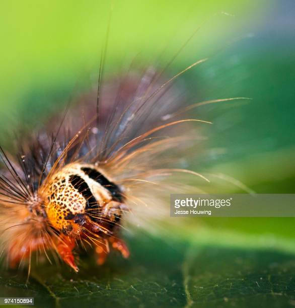 gypsy moth caterpillar - gypsy moth caterpillar stock pictures, royalty-free photos & images