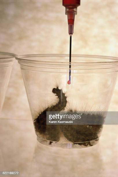 gypsy moth caterpillars used to make pesticide - gypsy moth caterpillar stock pictures, royalty-free photos & images