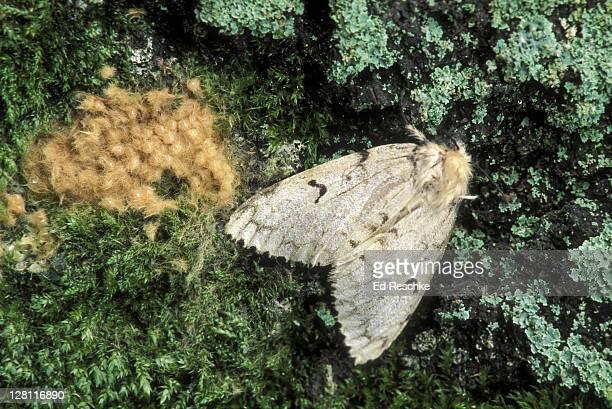 gypsy moth. female with egg mass, lymantria dispar. one female can produce an egg mass of 400 eggs. michigan. forest tree pests. - papillon de nuit photos et images de collection