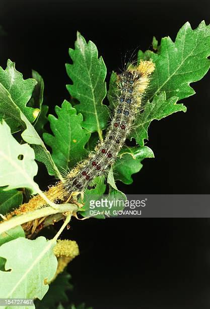 Gypsy moth or Asian gypsy moth caterpillar Lymantriidae
