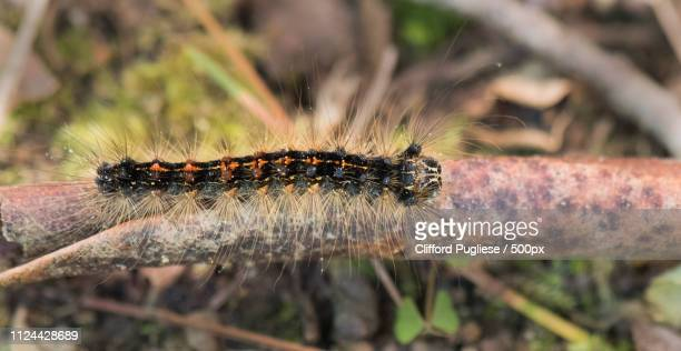 gypsy moth - gypsy moth caterpillar stock pictures, royalty-free photos & images