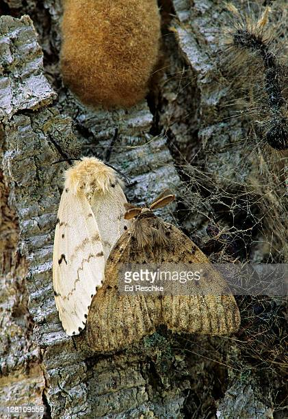 gypsy moths, male and female mating. lymantria dispar. female is light colored. note the feathery antennae of the male. they contain chemoreceptors that can detect female pheromones from great distances. muskegon, michigan. usa - mariposa nocturna fotografías e imágenes de stock