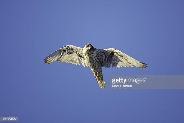 Gyr Falcon, Falco rusticolus, adult male in flight, Iceland