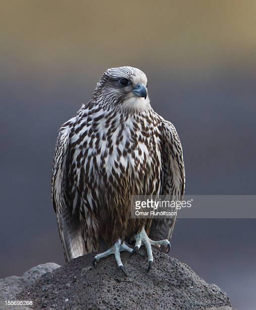 Gyr falcon - Falco rusticolus - Fálki