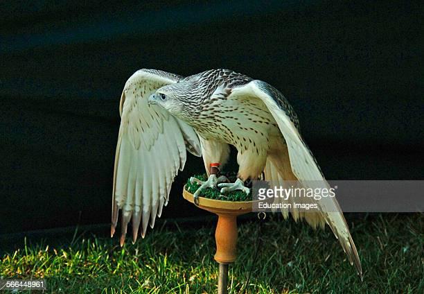 Gyr Falcon Falco rusticolus Midland Game Fair Shropshire