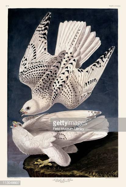 Gyr Falcon Plate 366 in John James Audubon's Birds of America late 1830s