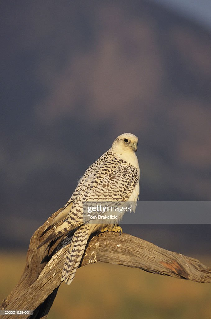 Gyr falcon, white-phase (Falco rusticolus) on tree limb, North America : Stock Photo