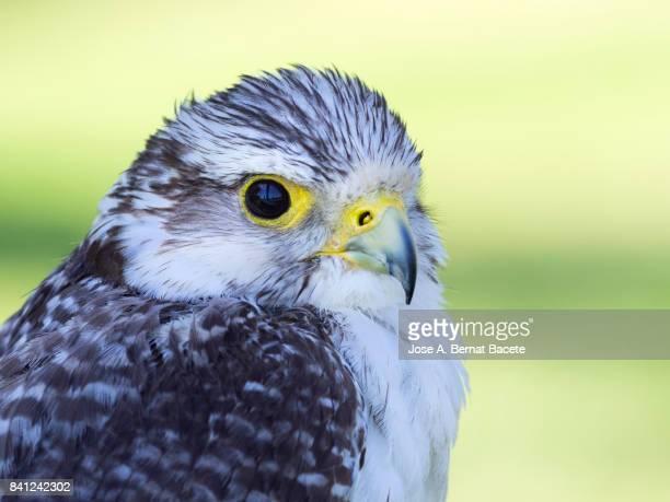 Gyrfalcon falcon (Falco rusticolus), head close up. France