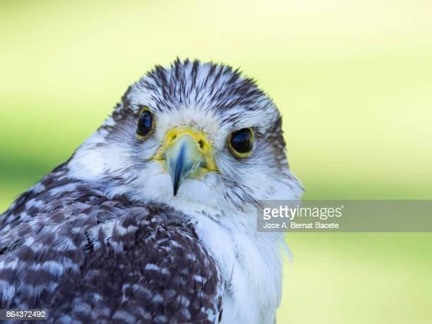 gyrfalcon falcon (falco rusticolus), head close up. france - peregrine falcon stock photos and pictures