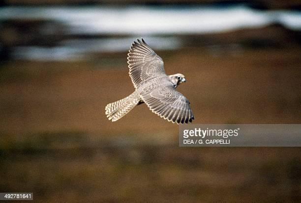 Gyrfalcon Falconidae Yukon Canada