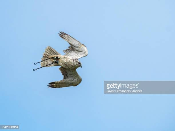 a gyrfalcon (falco rusticolus) for falconry flying over the sky. - falcon bird stock photos and pictures