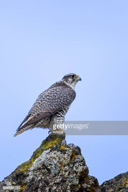Gyrfalcon / gerfalcon perched on rock in winter