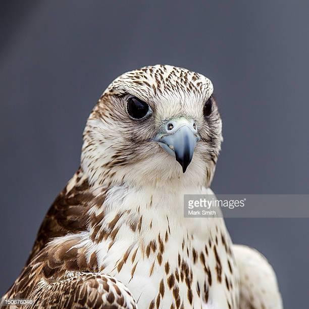 Gyrfalcon gerfalcon (Falco rusticolus)
