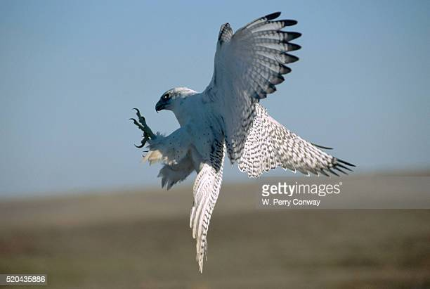 Gyrfalcon with Outstretched Talons