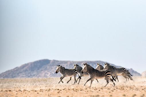 Haartmans Mountain Zebra 670349898