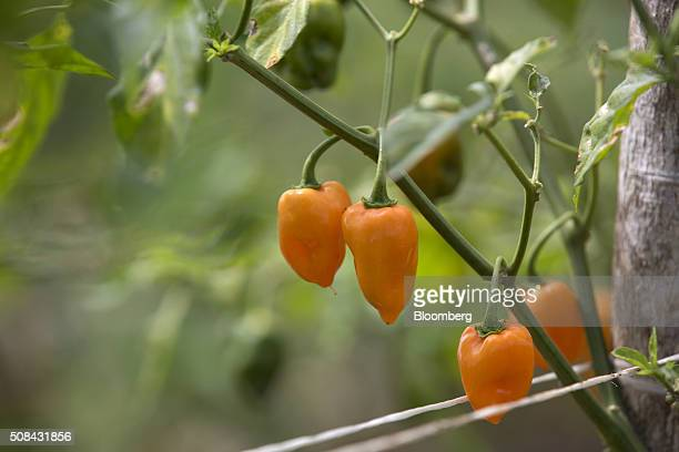 Habanero chiles hang from a plant in a field during harvest in Merida Mexico on Monday Feb 1 2016 Habanero chile producers in the Yucatan region are...