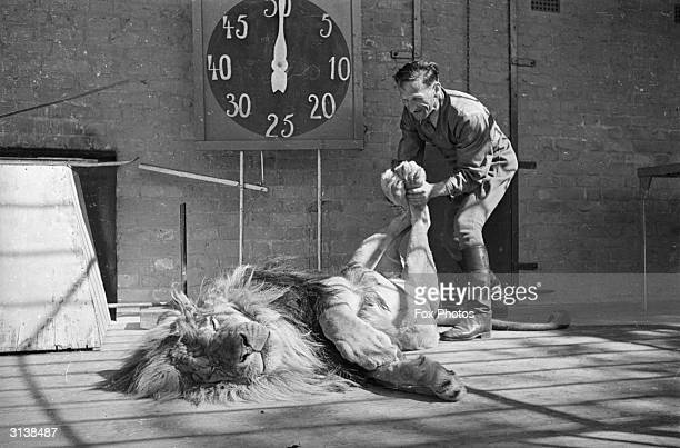 Habiba a ten year old lion at Chessington Zoo in Surrey relaxes while keeper Hans Brick manipulates its hind legs
