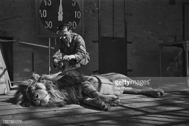 Habiba a ten yearold lion as keeper Hans Brick brushes his mane at at Chessington Zoo at Chessington Surrey 16th June 1939