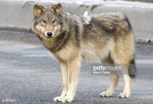 Habitualized Wolf