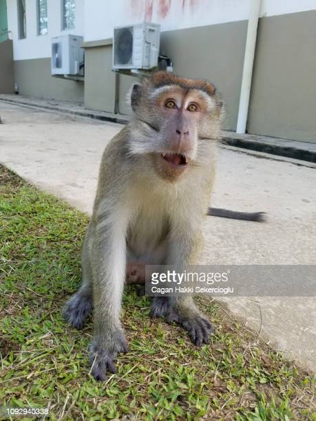 a habitutated male long-tailed macaque or crab-eating macaque, macaca fascicularis, begging for food - {{asset.href}} stockfoto's en -beelden
