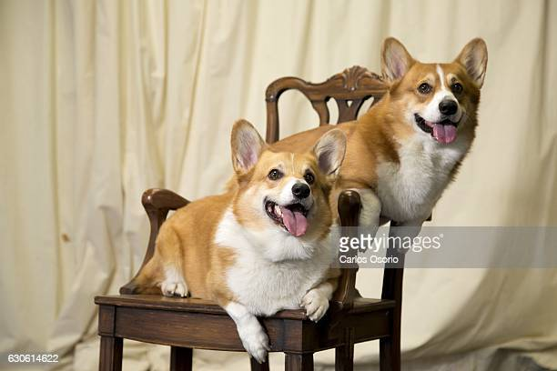 TORONTO ON DECEMBER 19 Hachi and Butters are the two corgis who are playing the Queen's dogs in The Audience an upcoming theatre show and who both...