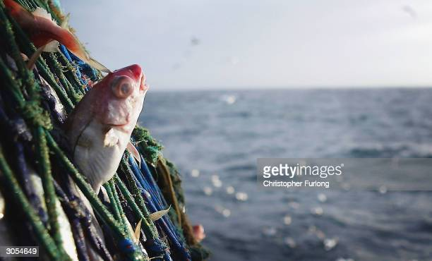 Haddock caught in the nets of the Scottish trawler Carina some 70 miles off the North coast of Scotland in The North Atlantic on March 5 2004 Fishing...