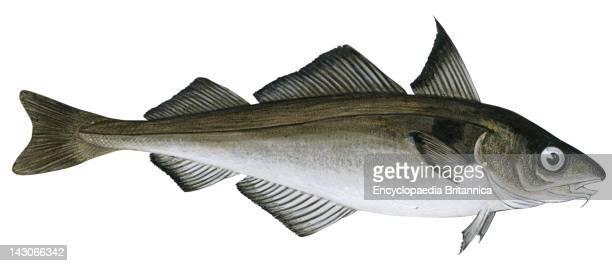 Haddock Haddock