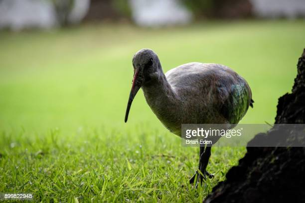 A Hadea Ibis bird walking in the grass