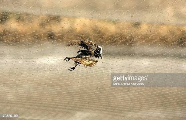 The skeleton of a bird is caught in a net protecting fish farms from sea birds in the northern Israeli city of Hadera 13 December 2006 Some nine...