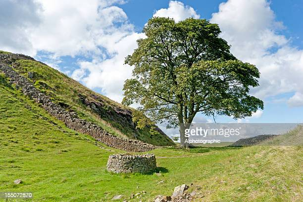 hadrian's wall robin hood tree - sycamore tree stock photos and pictures