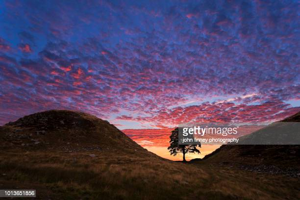 hadrians wall sycamore gap tree. northumberland. uk. - northumberland stock pictures, royalty-free photos & images