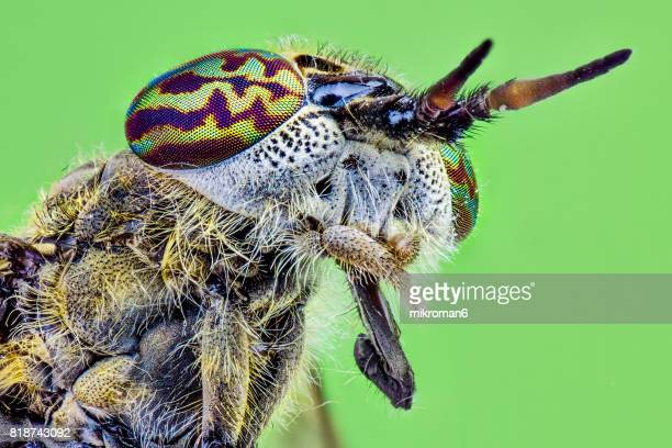 Haematopota pluvialis, the Common Horse Fly close-up