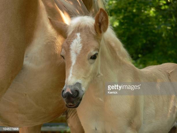 Haflinger horse foal after drinking