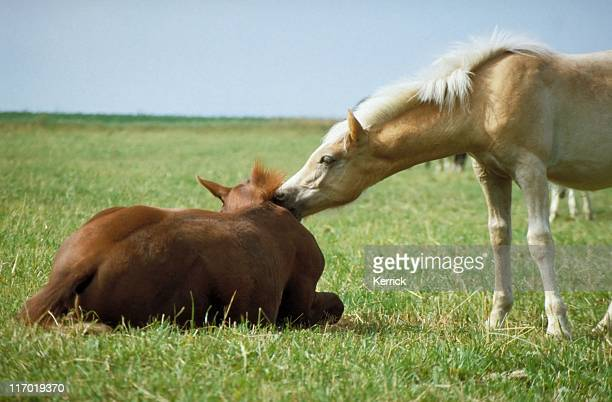 Haflinger horse foals - stand up and play with me!