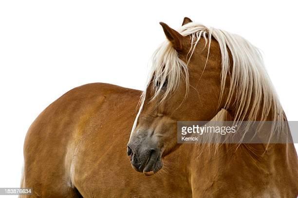 Haflinger horse isolated on white