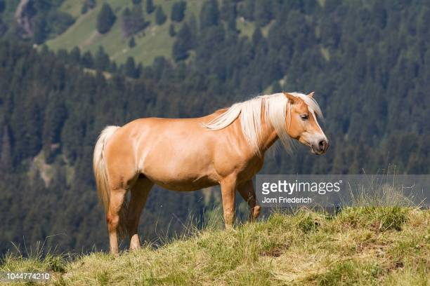 haflinger horse, seiser alm, south tyrol, italy - vista lateral stock pictures, royalty-free photos & images