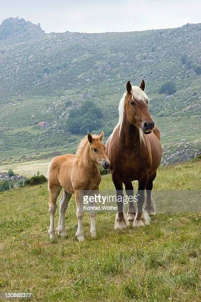 haflinger horse with foal in the mountains, cevennes, france, europe - cevennes photos et images de collection