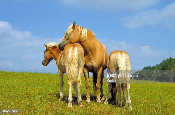 Haflinger horses - Twin foals and mother