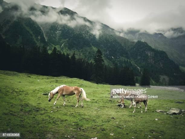 Haflinger on Alpine meadow
