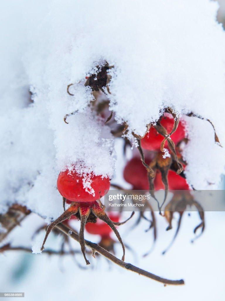 Hagebutte im Schnee : Stock Photo