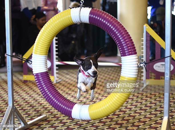 Hailey runs an obstacle course during the 139th Annual Westminster Kennel Club Dog Show press conference on January 21 to promote the two new breeds...