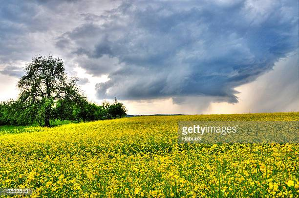 Hailstorm over canola field