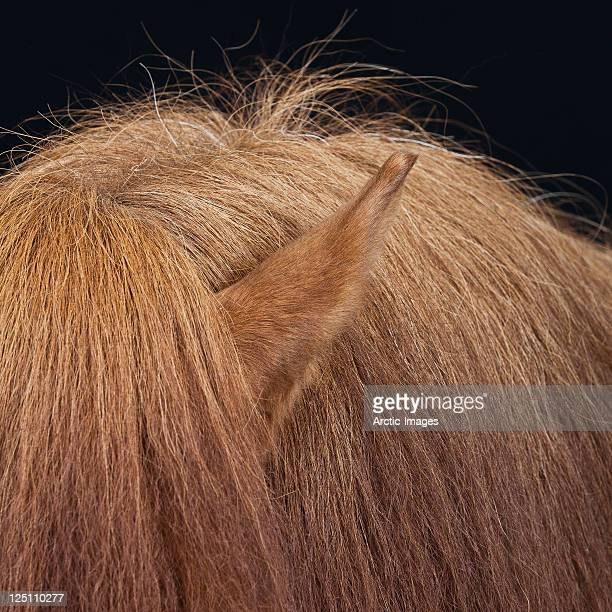 Hair and ear of horse