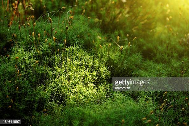 haircap moss - moss stock pictures, royalty-free photos & images