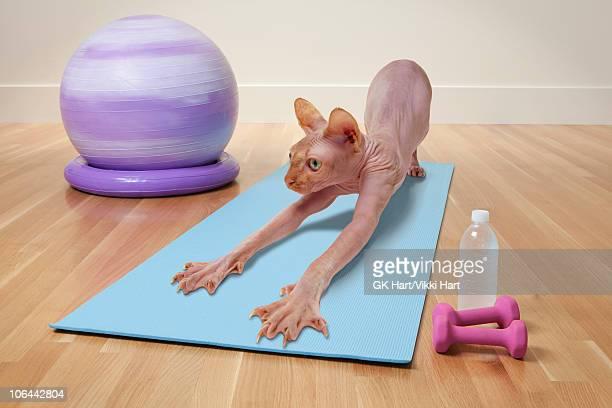 Hairless Cat in Yoga Studio