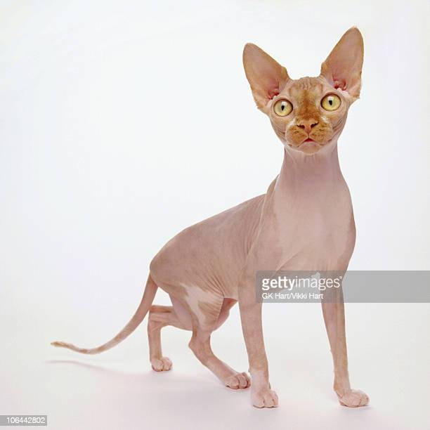 hairless cat on white background - sphynx hairless cat stock photos and pictures
